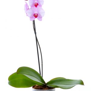 Purple Heart Pink Orchid