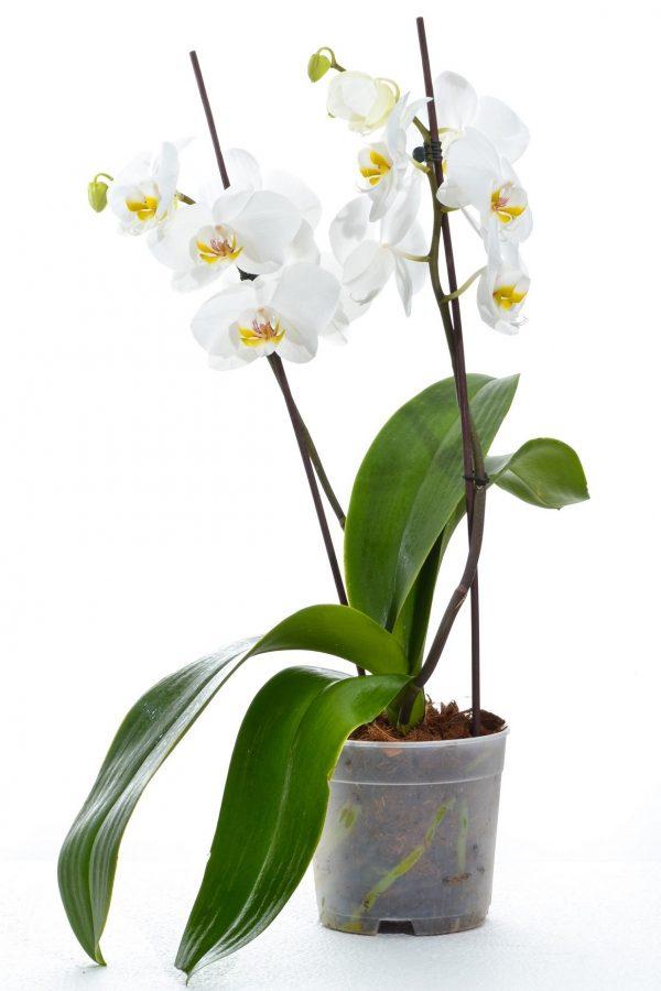 פרחי גורדון עציץ