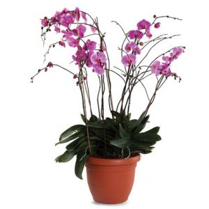 Orchid Penelopsys multi-branch in ceramic vase