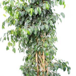 Ficus Binyamina