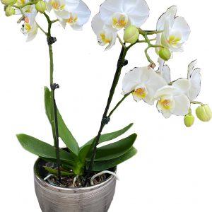 Желтое сердце орхидеи в керамическом горшке
