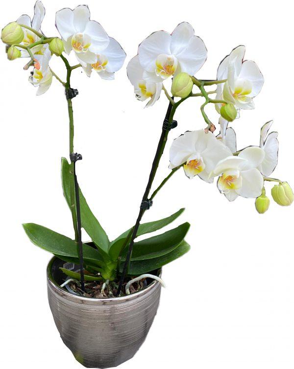 פרחי גורדון סחלב לבן בכלי כסף
