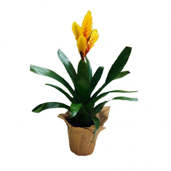 פרחי גורדון