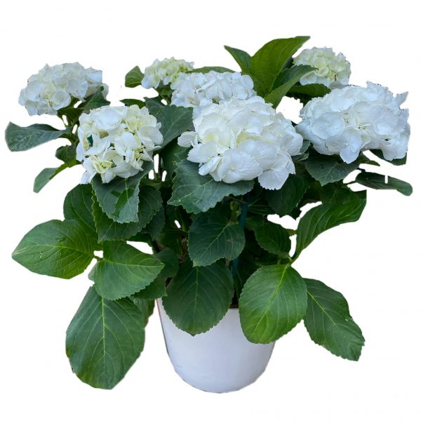 פרחי גורדון הורטנזיה לבנה
