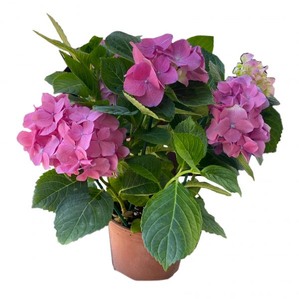 פרחי גורדון הורטנזיה ורודה