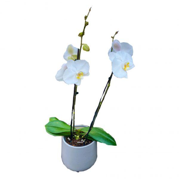 פרחי גורדון סחלב לבן