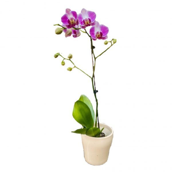 פרחי גורדון סחלב סגול