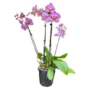 Пунктирная орхидея