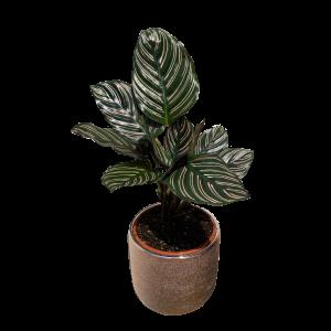 Calathea plant in a vessel