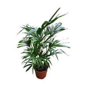 Гавайская пальма