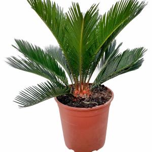 Горшечные цикадовые пальмы
