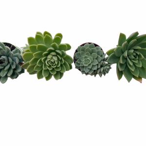 A set of succulents