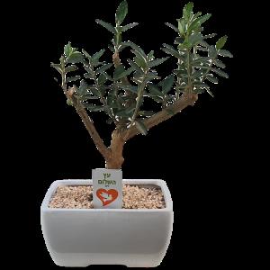 Olive tree – peace