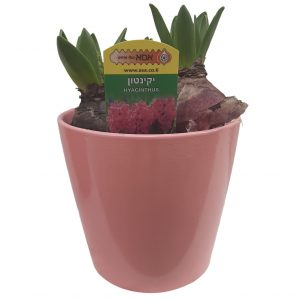 Potted Hyacinth